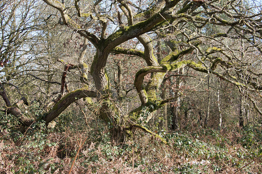 Twisted Tortured Oak Tree In Winter Photograph