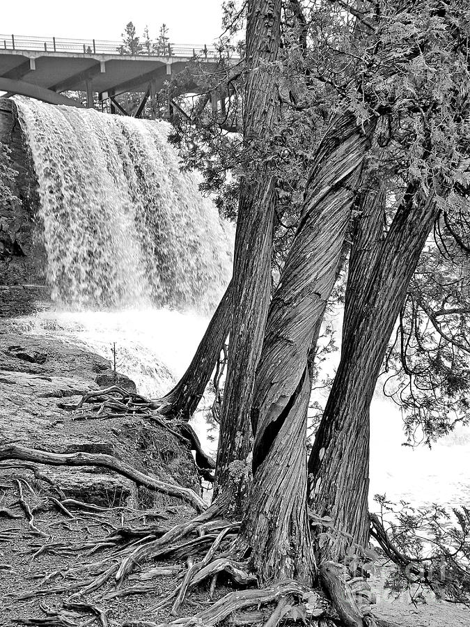 Twisted Trees At Gooseberry Bw Photograph