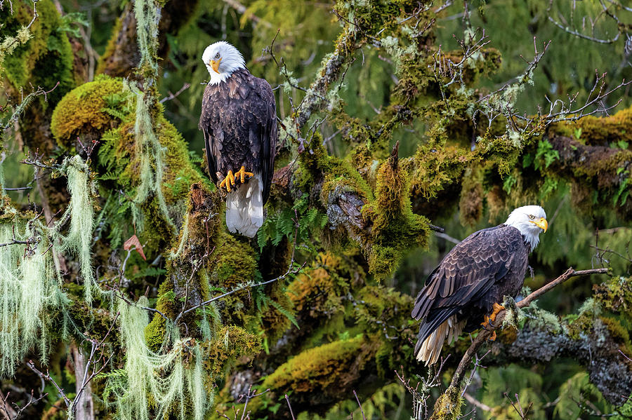 Two Bald Eagles Perched in a Tree by Mike Centioli