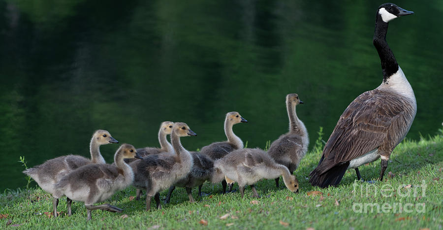 Two By Two - Goslings Photograph