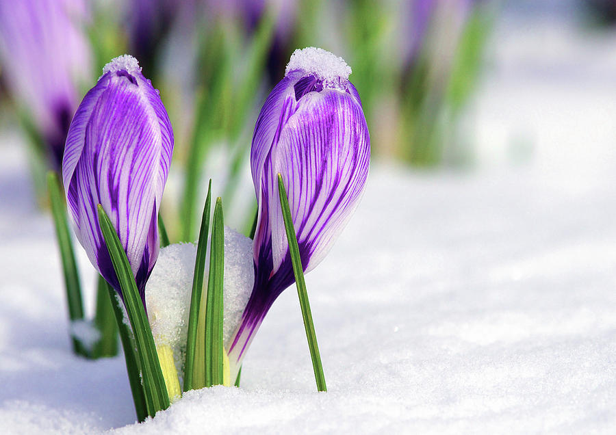 Two Crocuses in the Snow by Sharon Talson