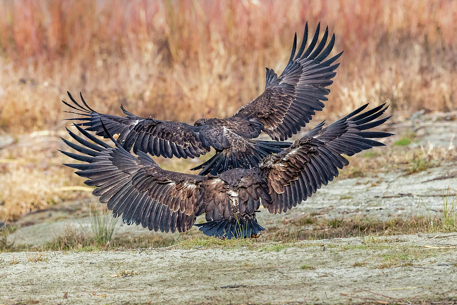 Two Eagles Flying Away by Mike Centioli