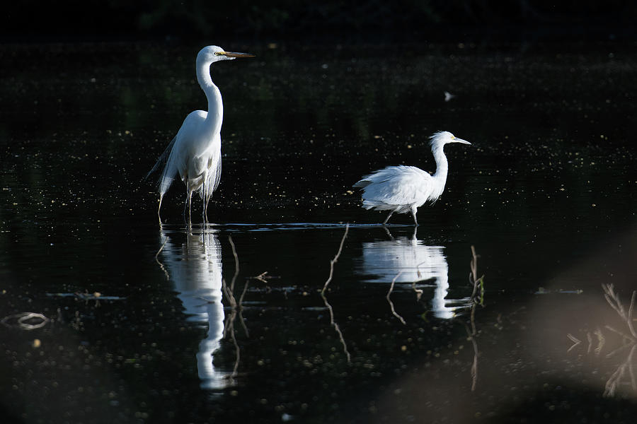 Two Egret In A Pond Photograph