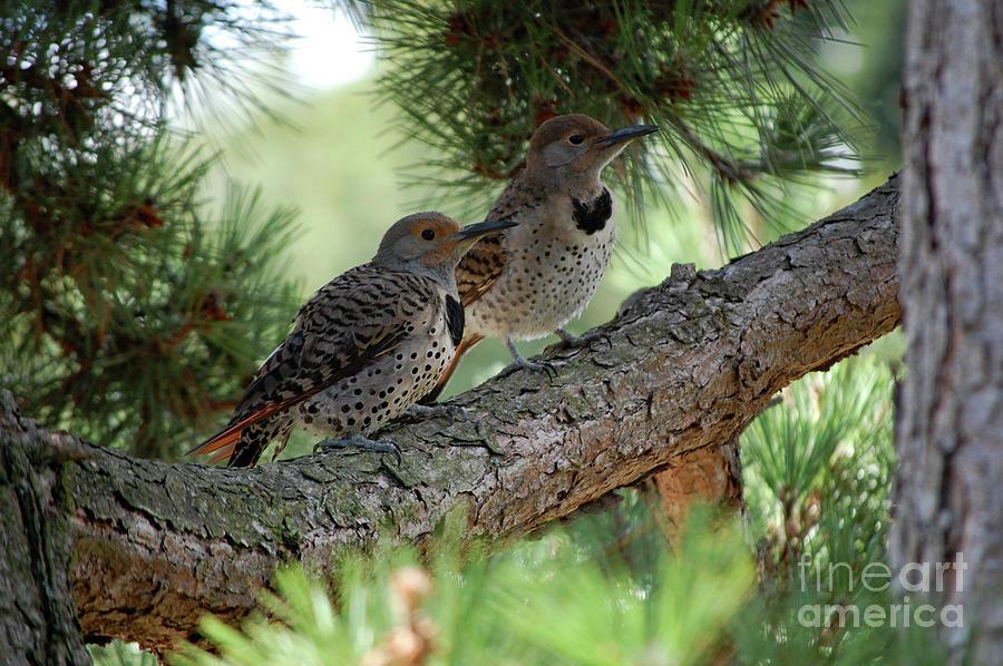 Flicker Photograph - Two Flickers on Pine Tree Branch by Rose De Dan