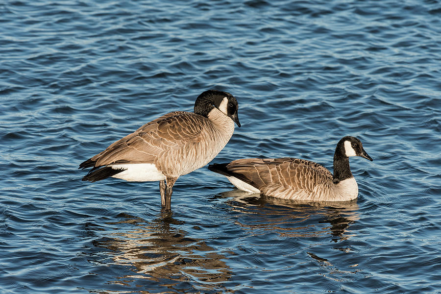 Two Geese by Robert Potts