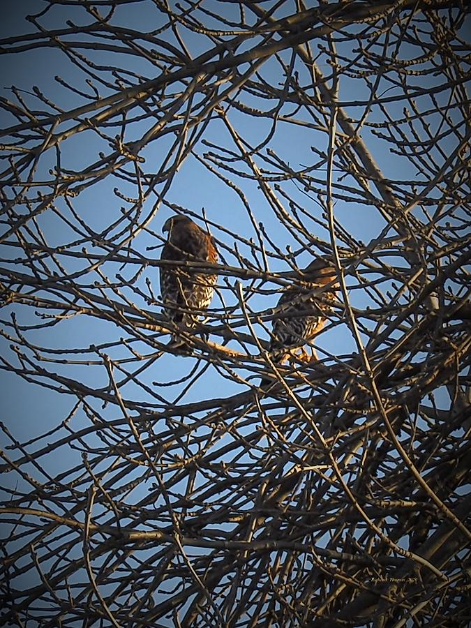 Two Hawks by Richard Thomas