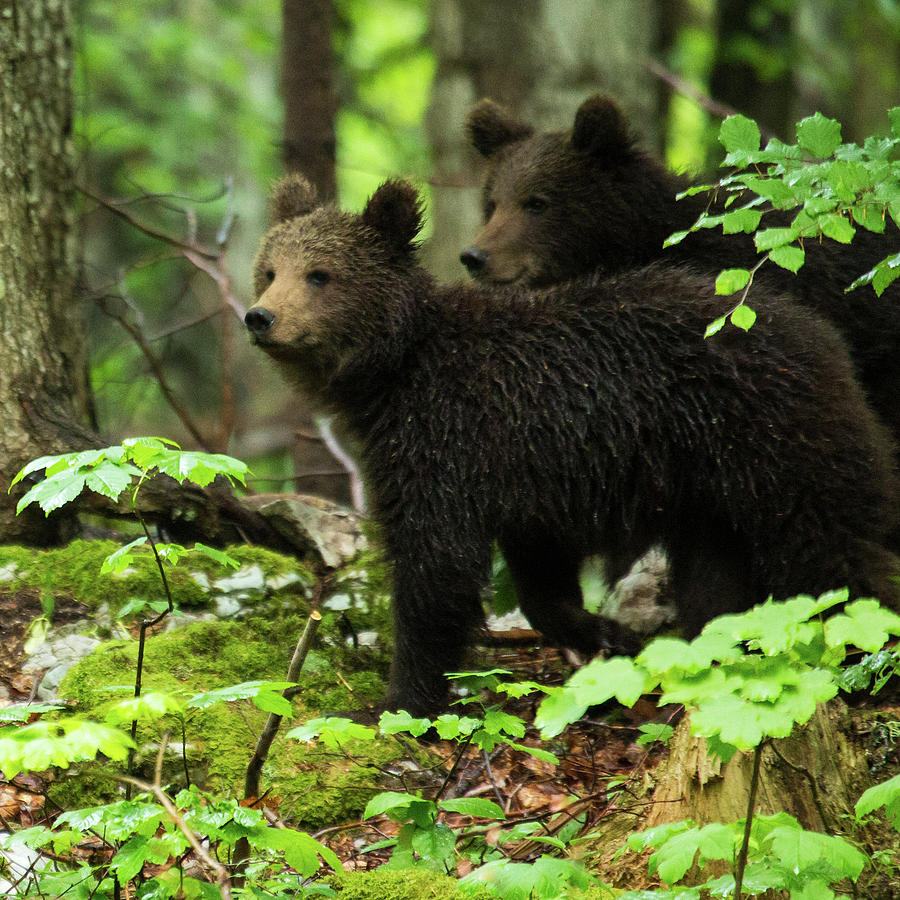 Two one year old Brown Bear in Slovenia by Ian Middleton