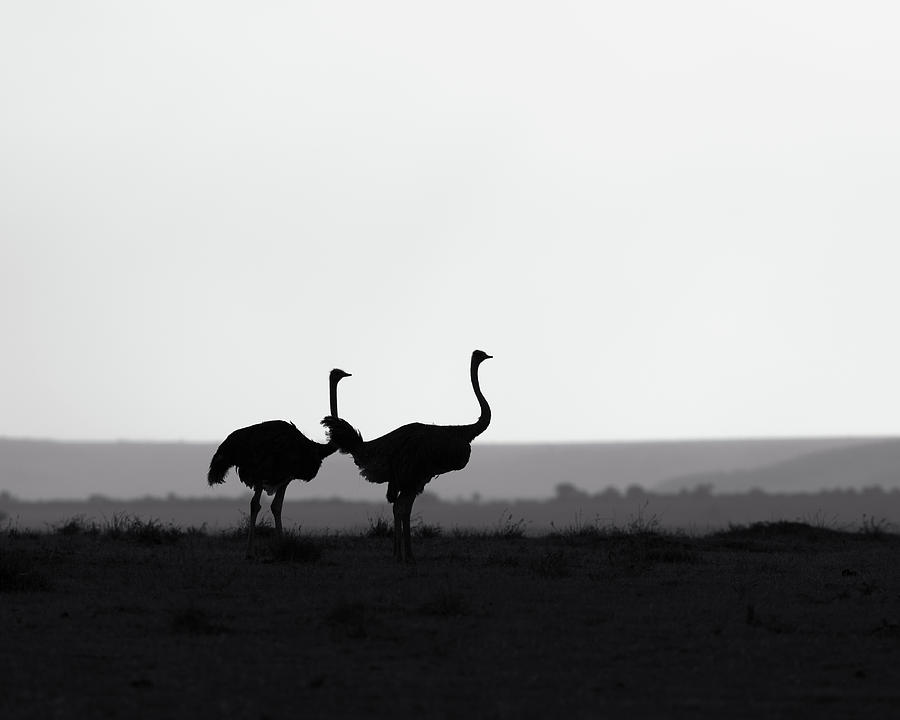 Two Ostriches On A Ridge - Monochrome Photograph