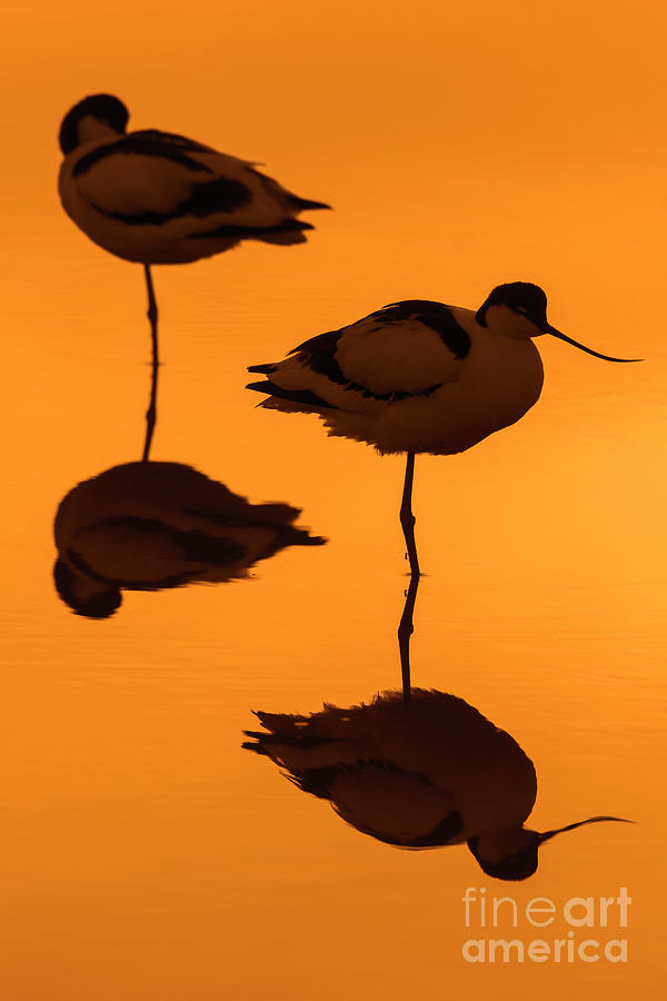 Two Pied Avocets at Sunset by Arterra Picture Library