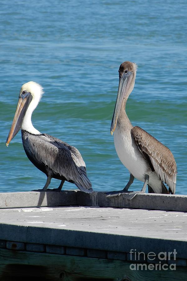 Two Pretty Pelicans On Pier Photograph