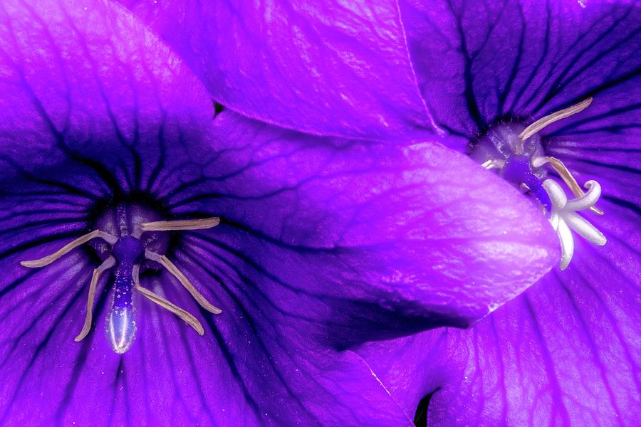 Two Purple Balloon Flowers Photograph