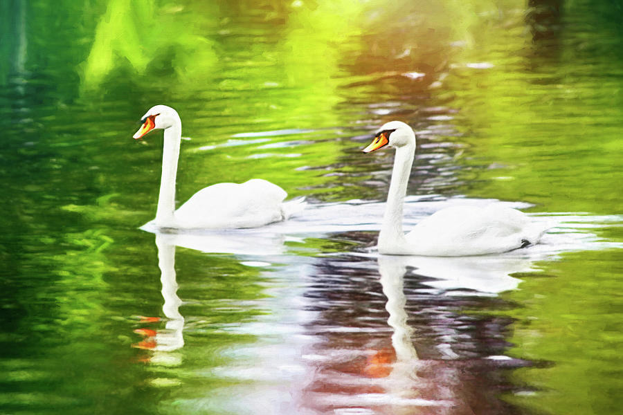 Two Swans A Swimming Photograph