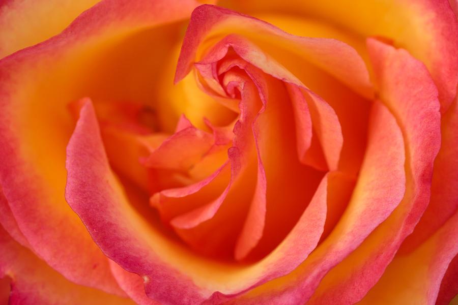 Two Tone Pink Orange Rose Photograph