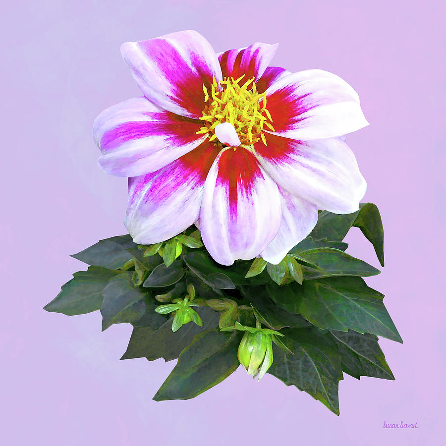 Two-Toned Pink Dahlia by Susan Savad