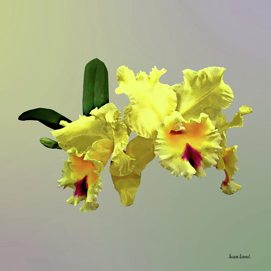 Two Yellow Cattleya Orchids by Susan Savad