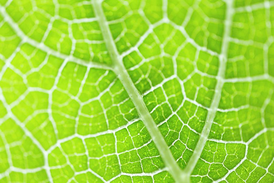 Under The Cucumber Leaf Photograph