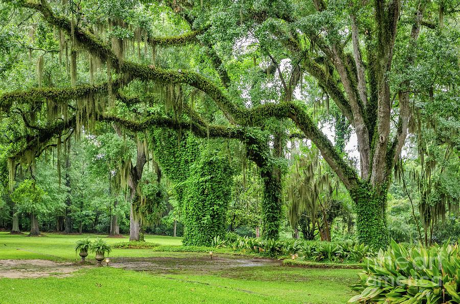 Under the Live Oaks in Louisiana by Kathleen K Parker
