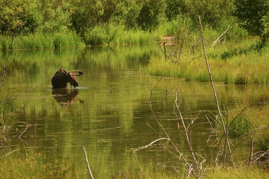 Moose Photograph - Underwater Salad  by YHWHY Vance