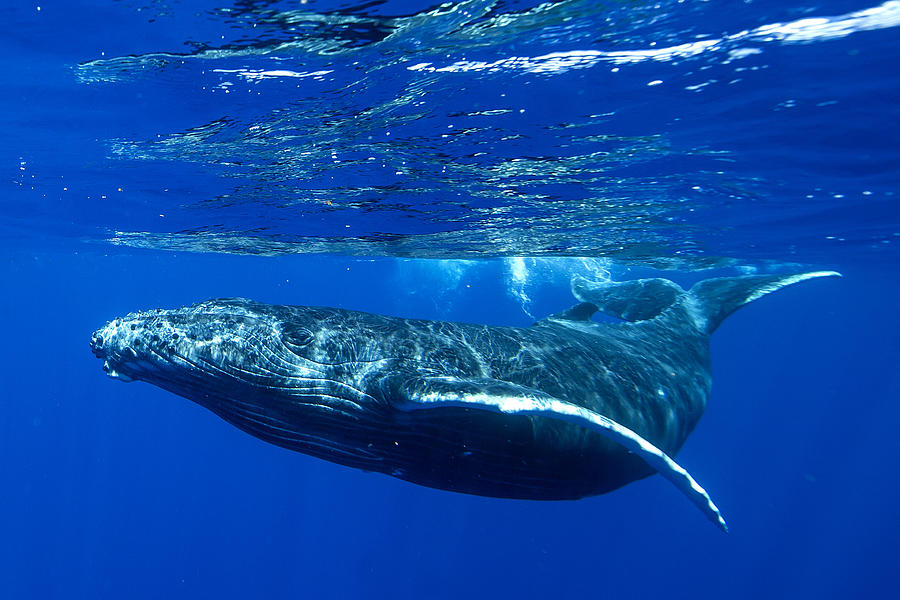 Underwater shot of a humpback whale, Tahiti, French Polynesia Photograph by Seanscott