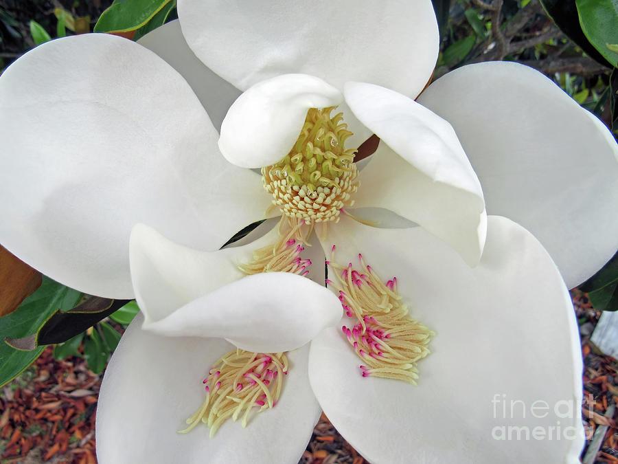 Unfolding Beauty of Magnolia by Roberta Byram
