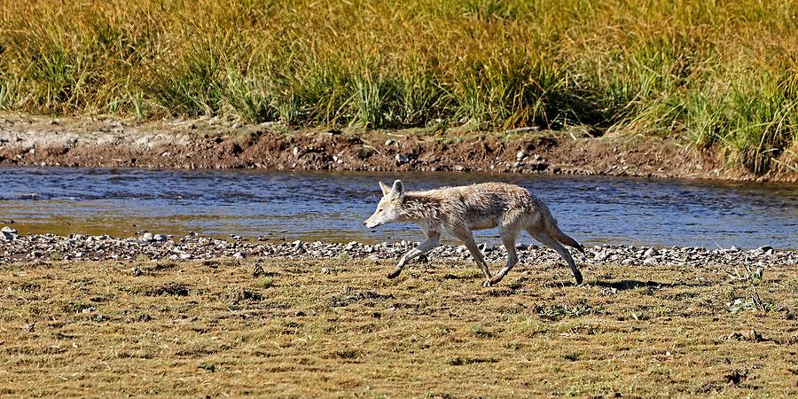 Uniquely Yellowstone Coyote by KJ Swan