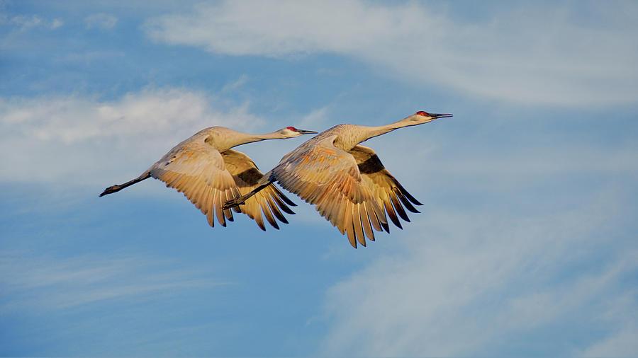 Unison In Flight-sandhill Cranes Photograph