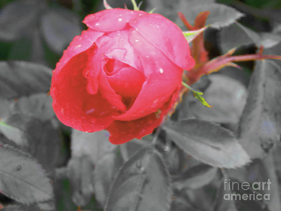 Flower Photograph - Valentine Rose by Mary Mikawoz