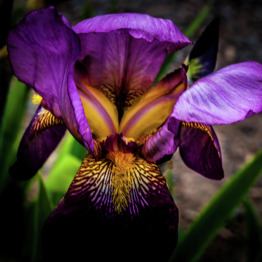 Vandal Spirit Iris Photograph