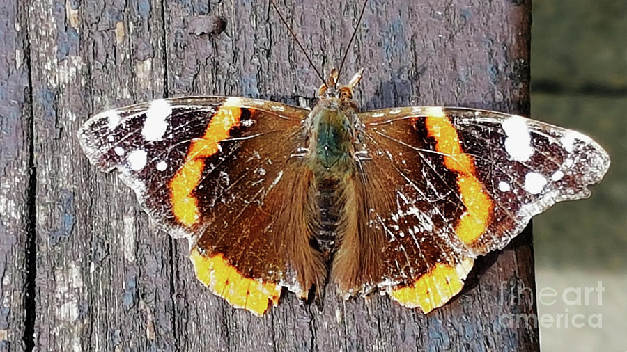 Vanessa Butterfly Taken Using A Samsung S7 Phone Photograph