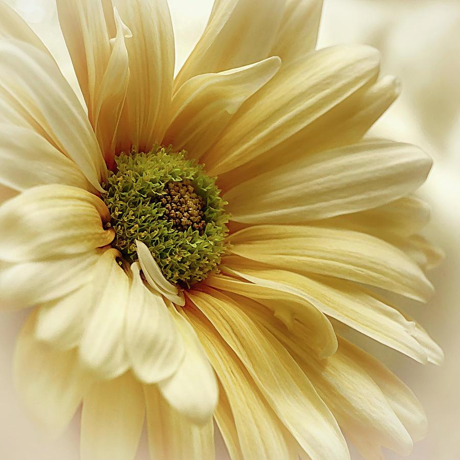 Veil of the Sun Lemon update by Darlene Kwiatkowski