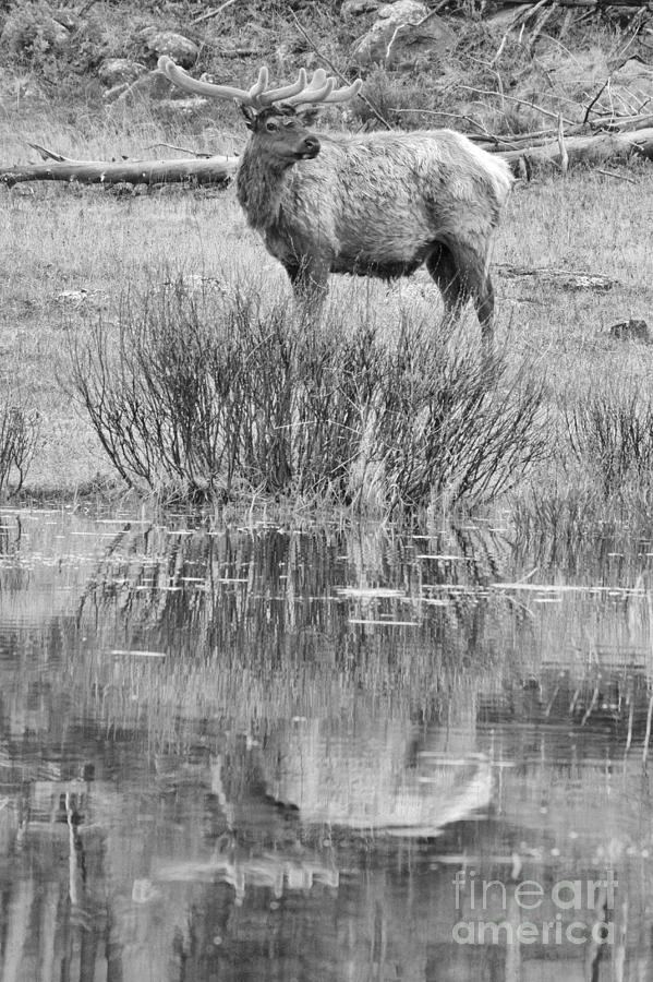 Velvet Elk Reflections Black And White by Adam Jewell