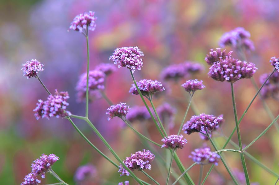 Verbena Bonariensis by Jenny Rainbow