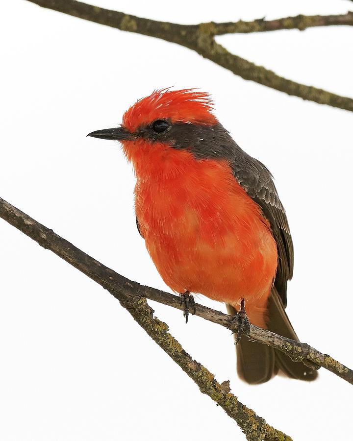 Birds Photograph - Vermilion Flycatcher, Colusa County California by Doug Herr