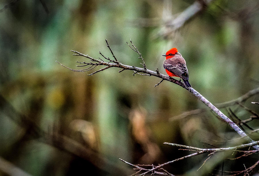 Vermillion Flycatcher At Brazos Bend Photograph