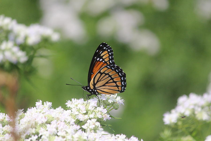 Viceroy Photograph - Viceroy by Callen Harty