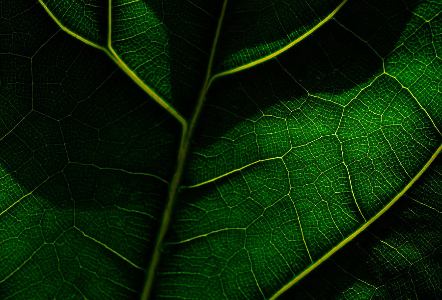 View of a leafs veins. Photograph by Guido Mieth