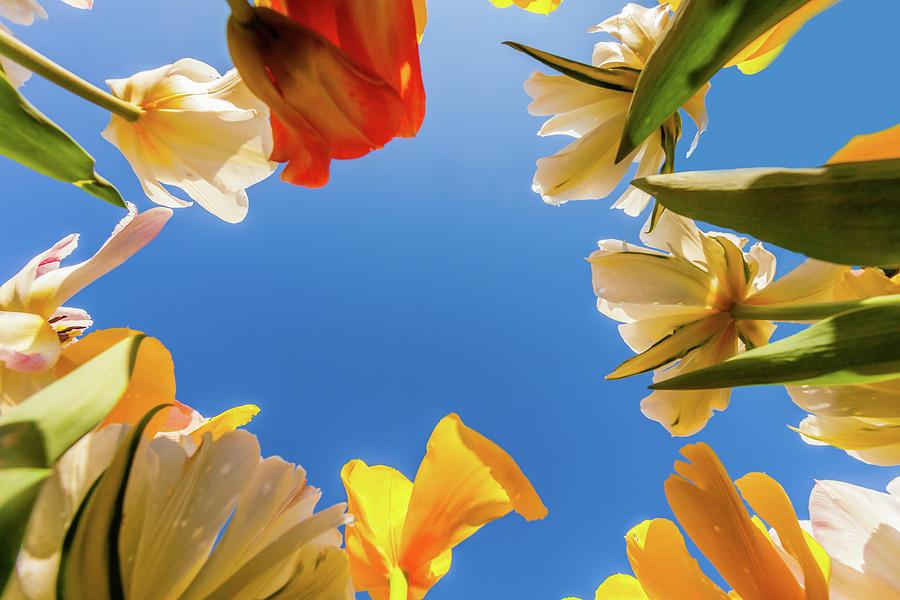 View Of Tulips Photograph