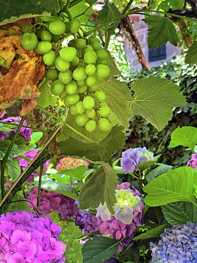 Vinho Verde Grapes Photograph