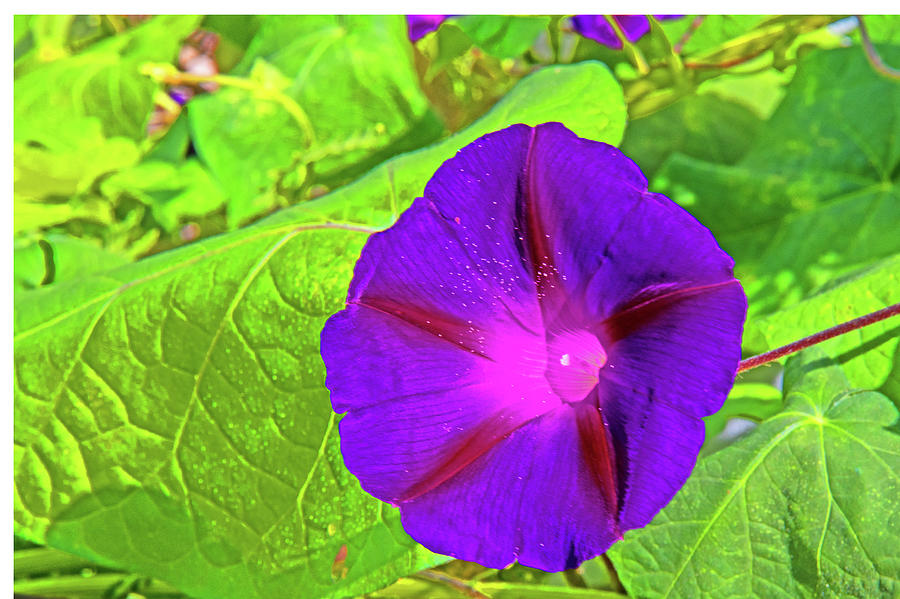 Violet Morning Glory Foliage Background 0697 Photograph by David Frederick