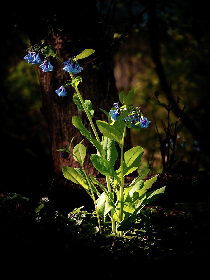 Virginia Bluebell Photograph