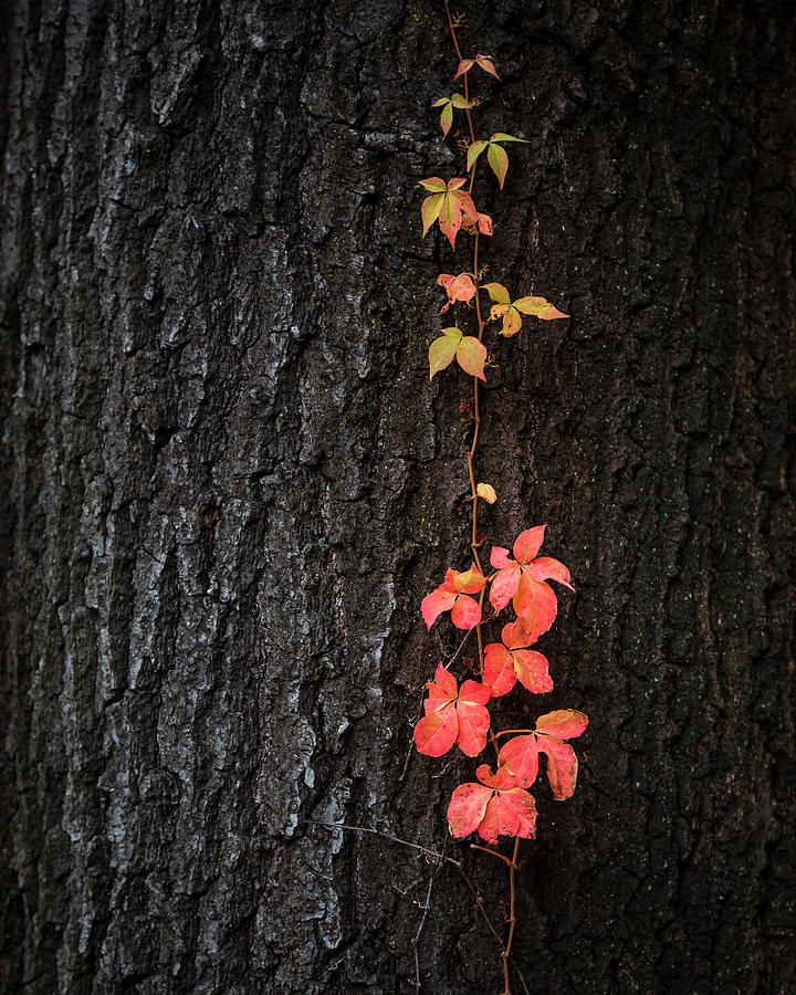 Virginia Creeper on Oak by Adam Romanowicz
