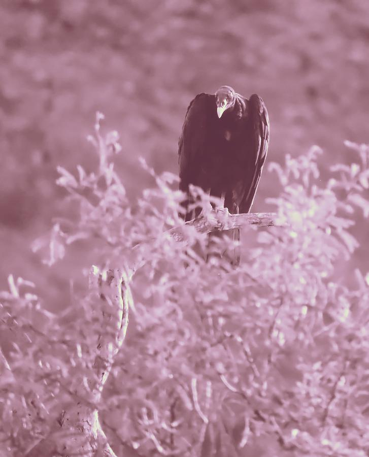 Vulture Duotone 2 by Judy Kennedy
