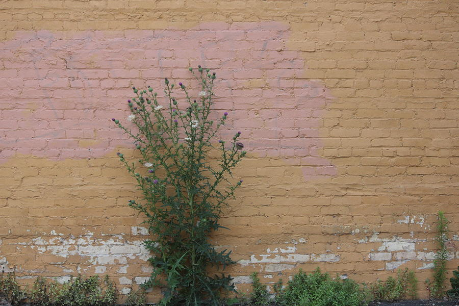 Thistle Photograph - Wall With Large Thistle by Callen Harty