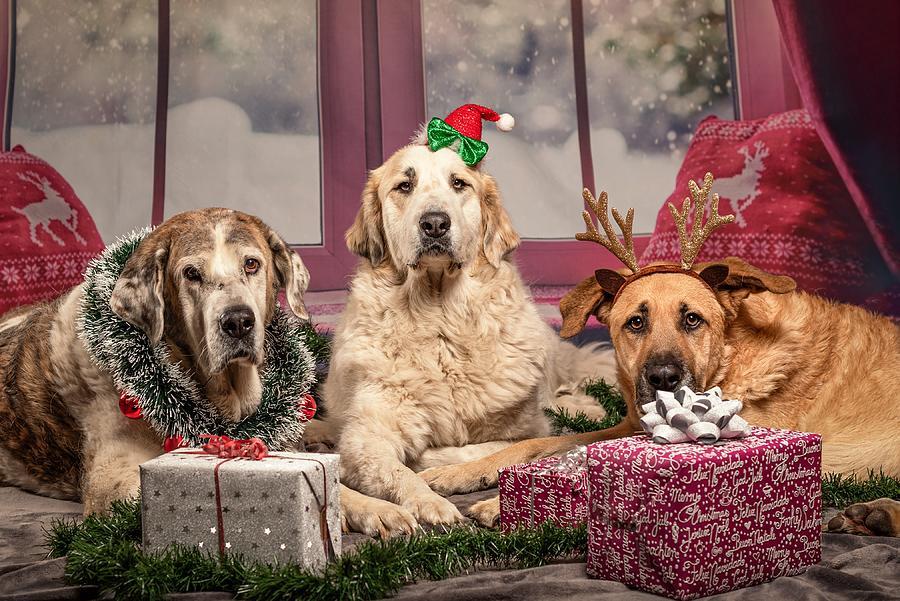 Wallpaper Retriever Dogs Christmas Horns Lying Dow Digital Art By Nguyen Van