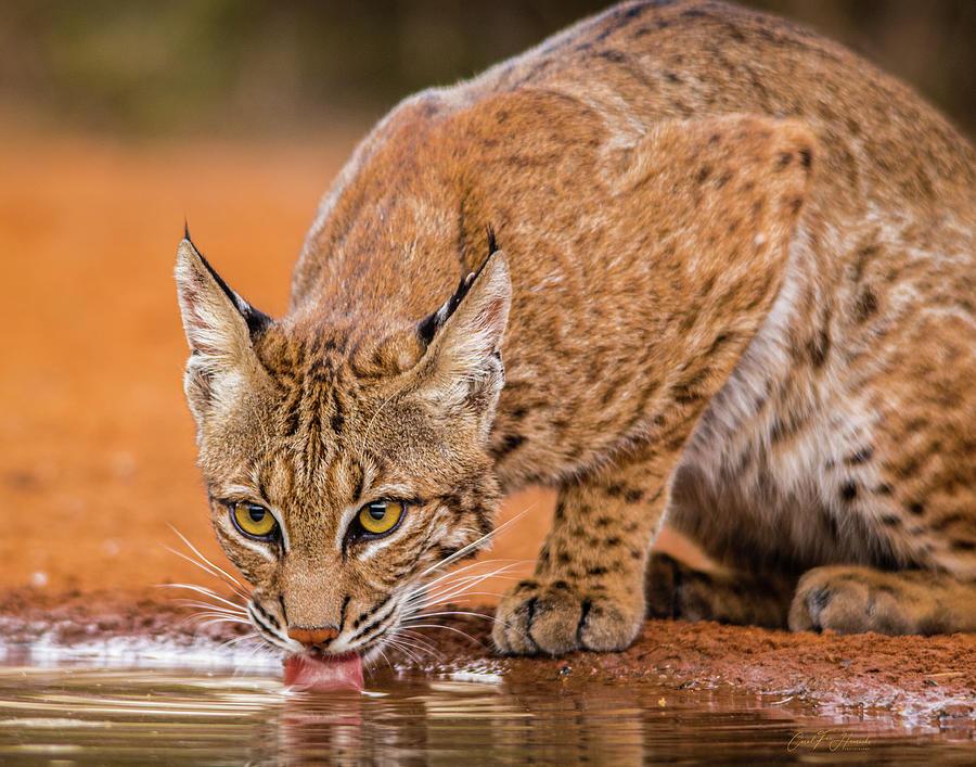 Bobcat Photograph - Wary  Bobcat by Carol Fox Henrichs