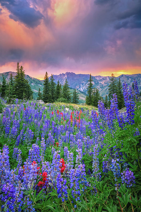 Wasatch Lupine Photograph