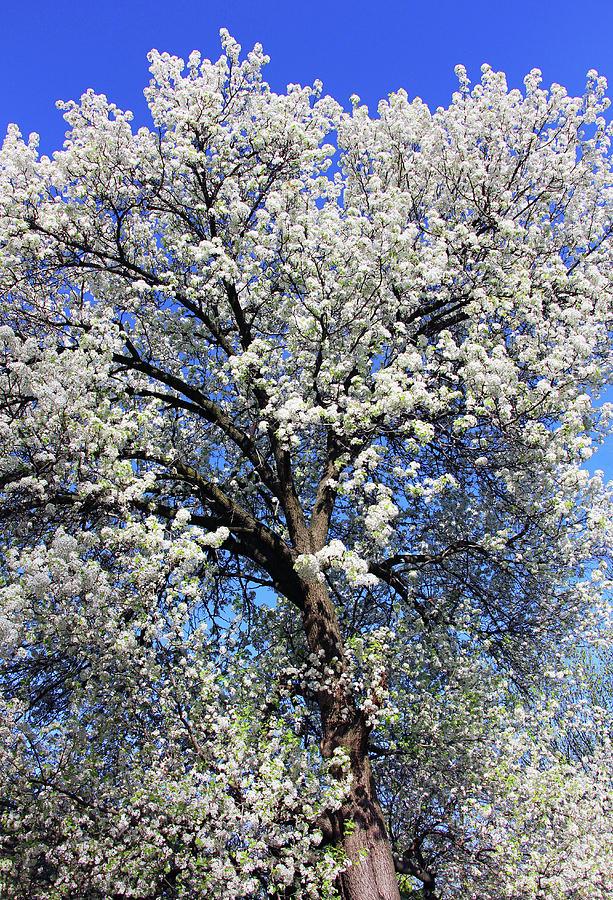 Dupont Circle Cherry Blossoms - 2a Photograph