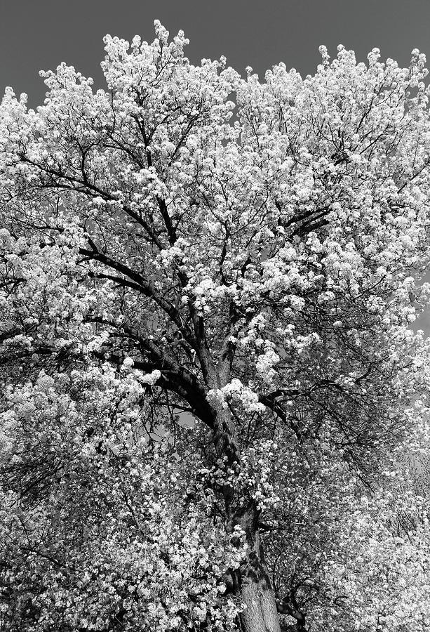 Dupont Circle Cherry Blossoms - 2b Photograph