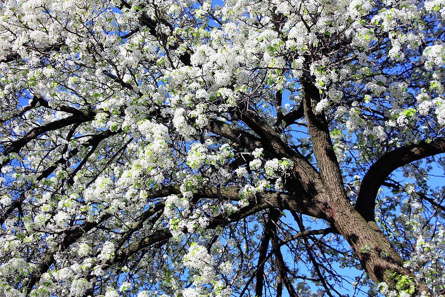 Dupont Circle Cherry Blossoms - 4a Photograph
