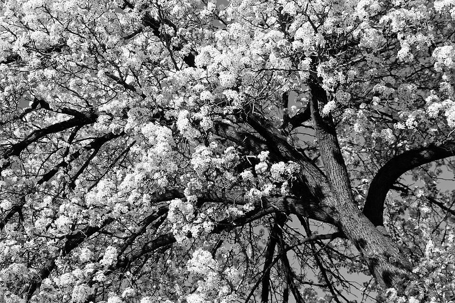 Dupont Circle Cherry Blossoms - 4b Photograph